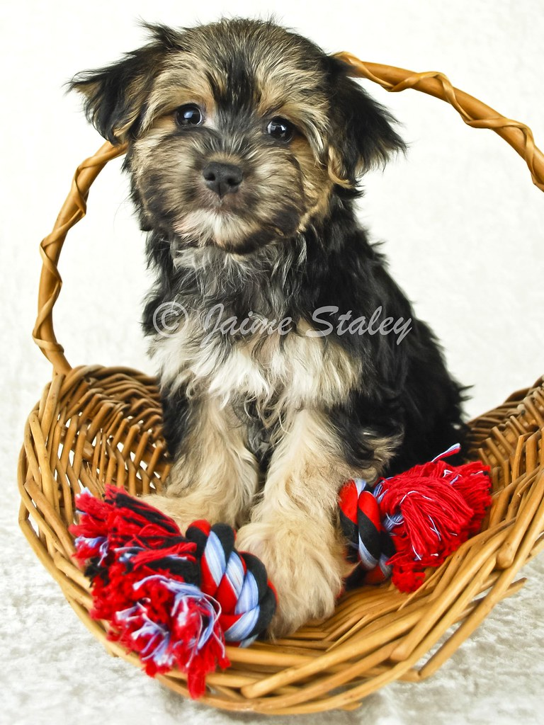 Morkie Puppies For Sale In Ohio Sale In Ohio Morkie Puppies For