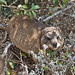 Rock Hyrax at Cape Point