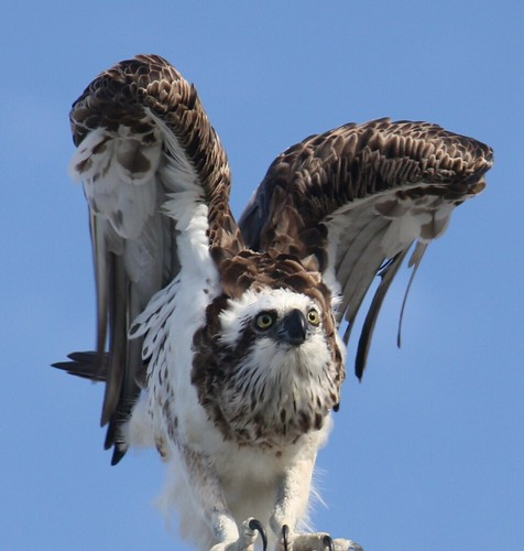 Osprey (Pandion haliaetus) at Caloundra