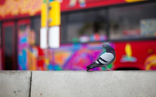 Pigeon Funchal