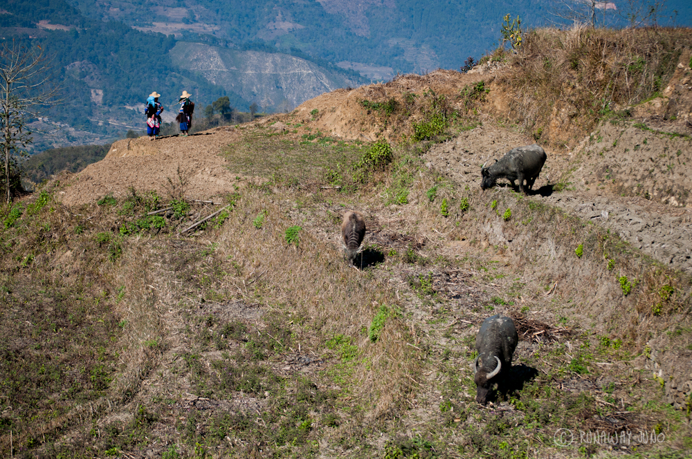 Water buffalos on Rice Terrace