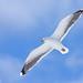 Svartbakur (Larus marinus) - Great Black-backed Gull