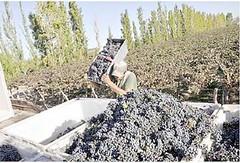 Chilecito: Productores advierten dificultades para la vendimia