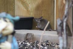 animal, rodent, mouse, fauna, muroidea, gerbil,