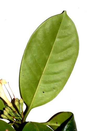 Fagraea cambagei DSC_0021 (4)
