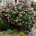 Biggest rose bush ever?