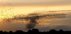 Starlings_BigT by Robin M Morrison