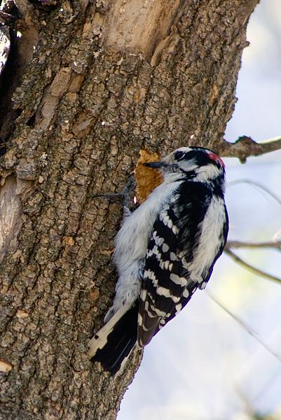 woodpecker2517