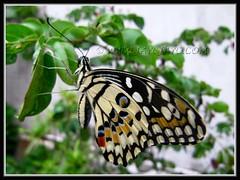 Papilio demoleus (Lime Butterfly), resting on red Dwarf Powderpuff Plant in our garden - Nov 2 2011
