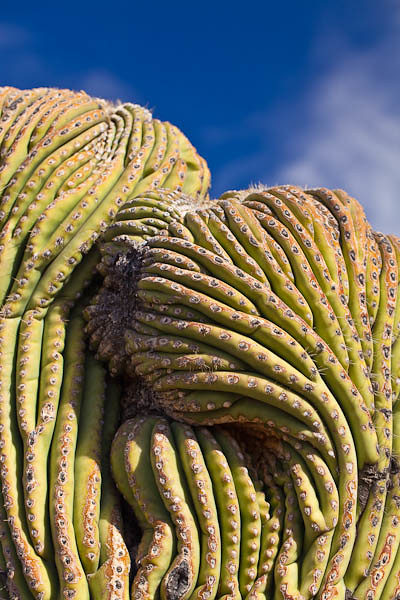 Crested Saguaro - In Hiding