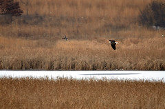 Eagle and Duck DSC_0111 by Mully410 * Images