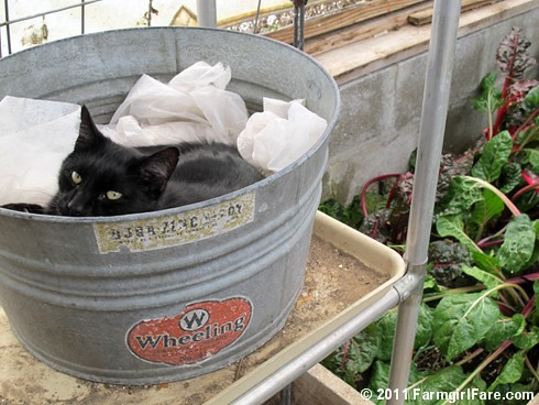 Mr. Midnight snuggled up in a vintage galvanized tub in the greenhouse 2 - FarmgirlFare.com