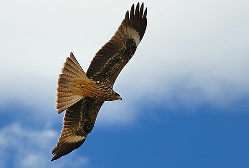 Black-eared Kite (Milvus lineatus) near Lake Pelkhu Tso, Tibet