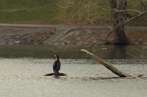 Cormorant on Jamaica Pond