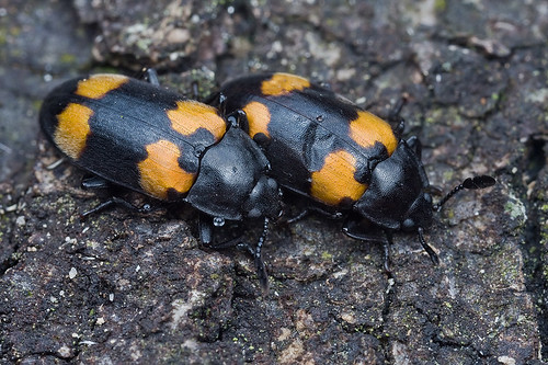 <b>Endomychidae hangsome fungus beetle </b>IMG_3332 copy