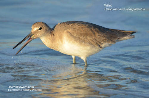 Willet eating a coquina by USWildflowers, on Flickr