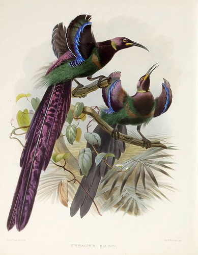 014-Ave del Paraiso de Elliot-A Monograph of the Paradiseidae-1873 D.G. Elliot