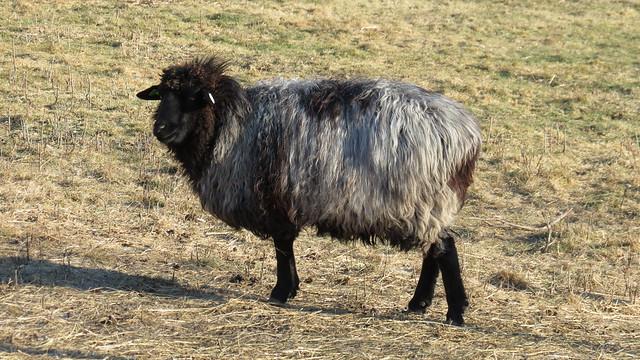 Karakul Sheep Pictures Mary Elizabeth Karakul Sheep