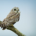 Short Eared Owl ~ Asio Flammeus