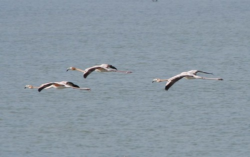 Flamingos! #7 (Inagua: Day 2)