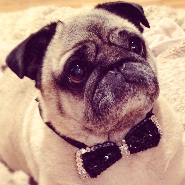 pug in sequined bow tie