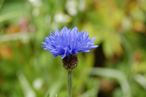 My first cornflower in my wildflower garden.  So pretty