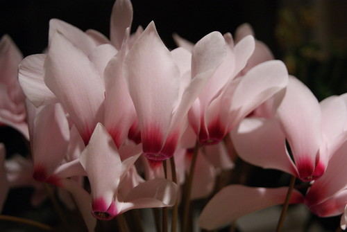 A Flock of Cyclamen by susanvg