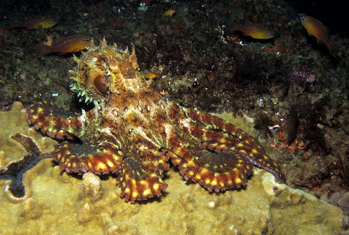 Octopus  at Pona do Ouro, Mozambique #SCUBA #pictures #underwater