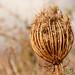 Dried Flower - Crete, Greece