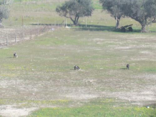 As cabrinhas que avistamos do terraço