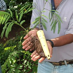Dibble tube Calliandra seedlings