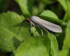 Edwards' Wasp Moth