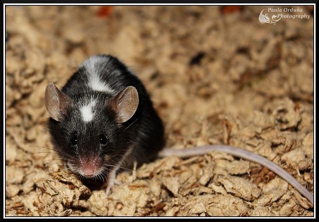 Doy en adopción a Pelusilla (ratón) en Elche, Alicante o Valencia 6675936821_afa79acc10_z