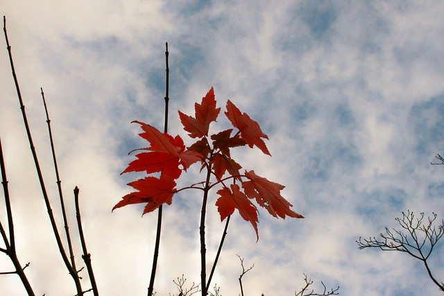 Maple Leaves Refuse To Let Go
