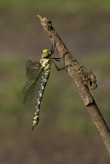 Southern hawker just emerged 2