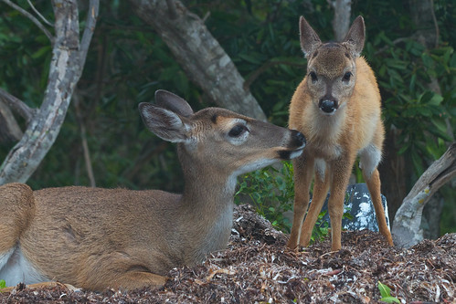 Key deer doe and fawn by alumroot