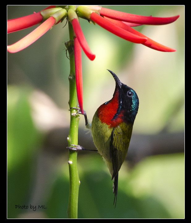 Birds Sunbird: Mystery Bird: Fork-tailed Sunbird, Aethopyga Christinae