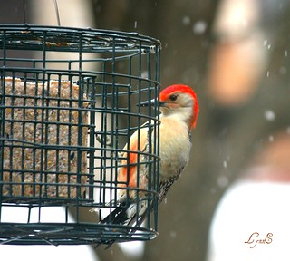 Red Bellied Woodpecker in blizzard