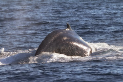 grey whale(0.0), animal(1.0), marine mammal(1.0), sea(1.0), marine biology(1.0), fauna(1.0), dolphin(1.0), rough-toothed dolphin(1.0),