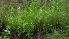 Senegal Tea leaves