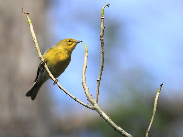 Pine Warbler 3-20120131