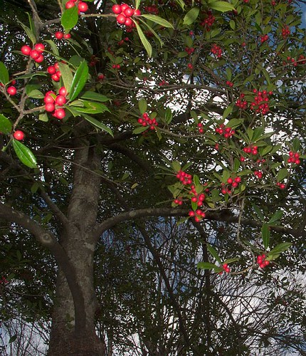 Holly Berries, January 31, 2012