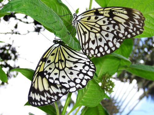 Butterfly - Mating