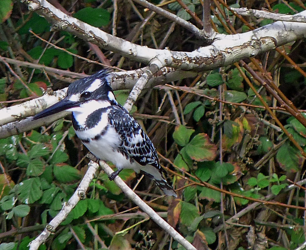 26-01-2012-pied-kingfisher