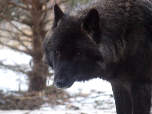 2012-02-03 Mn Zoo & Fur-Ever Wild Wolves 332 by puckster55pics