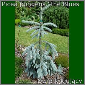 Picea pungens 'The Blues' - Świerk kłujący