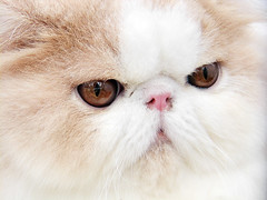 nose(1.0), exotic shorthair(1.0), animal(1.0), persian(1.0), british semi-longhair(1.0), mammal(1.0), cat-like mammal(1.0), close-up(1.0), cat(1.0), whiskers(1.0), himalayan(1.0),
