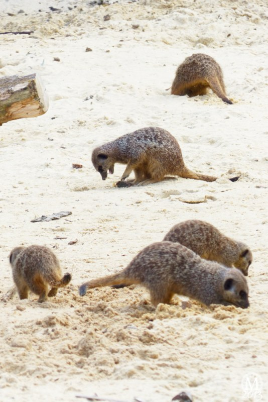 Meerkats - Desert Springs