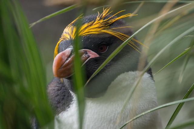 Macaroni Penguin in the Tussac