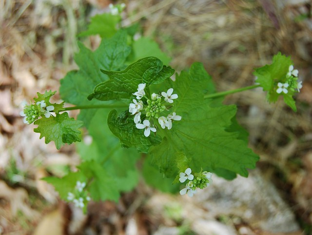 Garlic mustard greens by Eve Fox, the Garden of Eating, copyright 2016